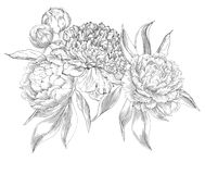 Ink hand drawn illustrations of ornate peonies Royalty Free Stock Photography