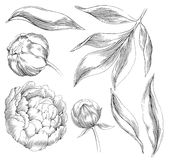 Ink hand drawn illustrations of ornate peonies Royalty Free Stock Image