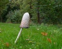 Ink mushroom Stock Image