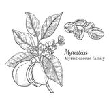 Ink nurmeg hand drawn sketch. Ink nutmeg herbal illustration. Hand drawn botanical sketch style. Absolutely vector. Good for using in packaging - tea, condinent Stock Images