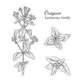 Ink oregano sativa hand drawn sketch. Ink oregano herbal illustration. Hand drawn botanical sketch style. Absolutely vector. Good for using in packaging - tea Royalty Free Stock Images