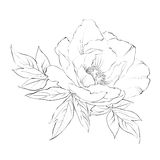 Ink Painting of Peony isolated on white. Royalty Free Stock Photography