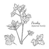 Ink parsley hand drawn sketch. Ink parsley herbal illustration. Hand drawn botanical sketch style. Absolutely vector. Good for using in packaging - tea Stock Images