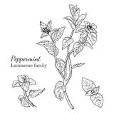 Ink peppermint hand drawn sketch. Ink peppermint herbal illustration. Hand drawn botanical sketch style. Absolutely vector. Good for using in packaging - tea Stock Images