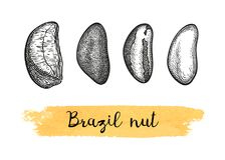 Ink sketch of Brazil nut. Stock Image