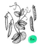 Ink sketch of pea. Isolated on white background. Hand drawn vector illustration. Retro style stock illustration