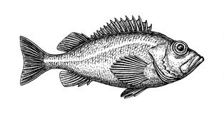 Ink sketch of rockfish. Hand drawn vector illustration of redfish isolated on white background. Retro style Royalty Free Stock Photography