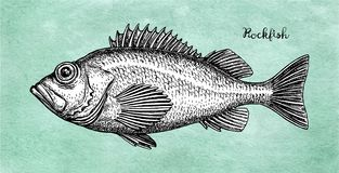 Ink sketch of rockfish. Hand drawn vector illustration of redfish on old paper background. Retro style Stock Images