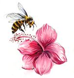 Bee and hibiscus. Ink and water color illustration of a bee and hibiscus flower royalty free illustration