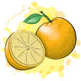 Ink and Watercolor Style Oranges Royalty Free Stock Photo