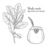Ink yerba mate hand drawn sketch. Ink yerba mate herbal illustration. Hand drawn botanical sketch style. Absolutely vector. Good for using in packaging - tea Royalty Free Stock Image