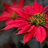 Inka kwiat Zdjęcia Royalty Free