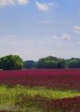 Inkarnatklee-Landschaft Lizenzfreie Stockfotos