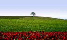 Inkarnatklee und alleiner Baum Lizenzfreie Stockfotos