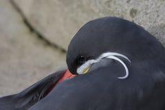 Inkaseeschwalbenporträt Stockfotografie