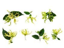 Inkasowego Ylang-Ylang, Cananga odorata kwiaty, i zieleń liście Zdjęcie Royalty Free