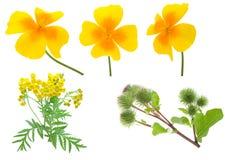 inkasowi kwiaty zdjęcie royalty free