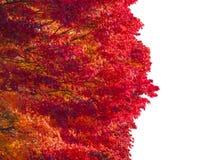 Inkasowi piękni kolorowi jesień liście odizolowywający na białym tle Obraz Royalty Free