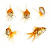 inkasowy glodfish Zdjęcia Stock