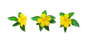 Inkasowy kolor żółty kwitnie z liśćmi i kropelką odizolowywającymi Zdjęcie Royalty Free