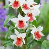 Inkasowy ustawiający Biała orchidea Obraz Stock