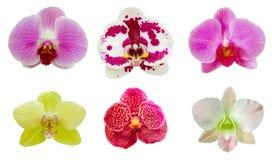 Inkasowy ustawiający storczykowy kwiat na białym odosobnionym tle Zdjęcia Stock