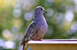 Inkataube gehockt auf Vogelbad Stockfotografie