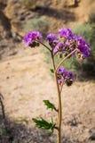 Inkeping-blad schorpioen-onkruid Phacelia-crenulata die in Joshua Tree National Park, Californië bloeien stock foto's