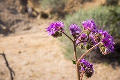 Inkeping-blad schorpioen-onkruid Phacelia-crenulata die in Joshua Tree National Park, Californië bloeien royalty-vrije stock afbeelding