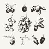 Inkt getrokken inzameling van druiven Stock Foto's