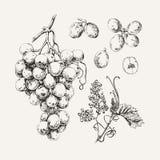 Inkt getrokken witte druif Royalty-vrije Stock Afbeelding