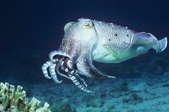 Inktvissen die in oceaan zwemmen Stock Foto's