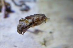 Inktvissen het Zwemmen Royalty-vrije Stock Fotografie