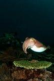 Inktvissen op het lijstkoraal? Stock Foto