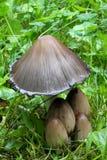 Inky Caps. Inky Cap mushrooms in very nice light Royalty Free Stock Photos