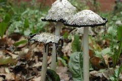 Inky coprinus among fallen leaves. Mushroom Coprinus comatus among fallen leaves  close to Stock Photo