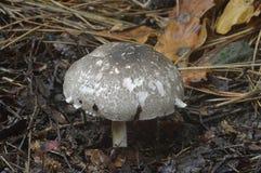 Inky Mushroom. Agaricus moelleri - Inky Mushroom or Grey Stainer Royalty Free Stock Images
