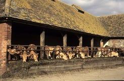 Inländische Bauernhof-Kühe Stockfoto