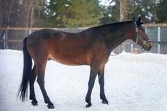 Inländische Braune, die in die Schneekoppel im Winter geht lizenzfreie stockbilder