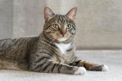 Inländische Cat Lies auf dem Teppich, der Zuschauer betrachtet Stockbild