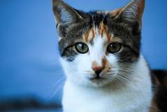 Inländische Cat Portrait Lizenzfreies Stockfoto