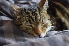 Inländische Cat Sleeping Lizenzfreie Stockfotografie
