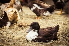 Inländische Ente, die auf Heu liegt Stockbilder
