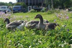 Inländische Ente in einem Dorf Stockfoto