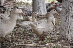 Inländische Enten auf dem Bauernhof Stockbild