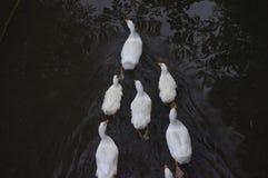 Inländische Enten, die in den Stauwassern schwimmen Lizenzfreie Stockfotografie