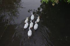 Inländische Enten, die in den Stauwassern schwimmen Lizenzfreies Stockbild
