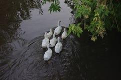 Inländische Enten, die in den Stauwassern schwimmen Lizenzfreie Stockfotos