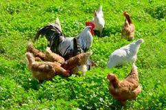 Inländische Hühner. Stockbilder