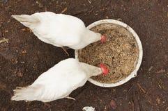 Inländische Hühner pecking Körner lizenzfreie stockbilder
